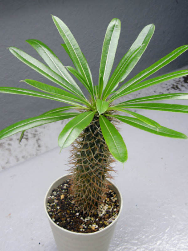 Variety   Cactus plants, Plants, Palm trees   Name Cactus Palm Tree