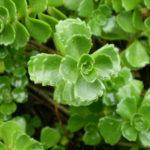 Phedimus spurius (Caucasian Stonecrop) aka Sedum spurium