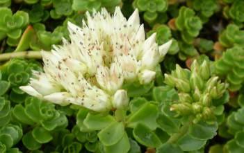 Phedimus spurius (Sedum spurium) - Caucasian Stonecrop