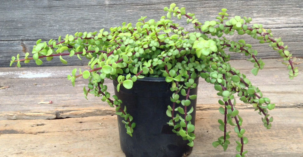portulacaria afra   elephant bush dwarf jade world of