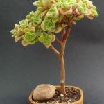 Aichryson laxum (Tree of Love)