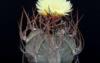 Astrophytum capricorne (Goat's Horn Cactus)