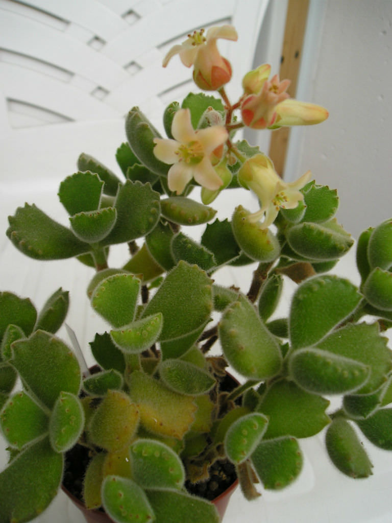 Cotyledon Tomentosa Bear S Paw World Of Succulents