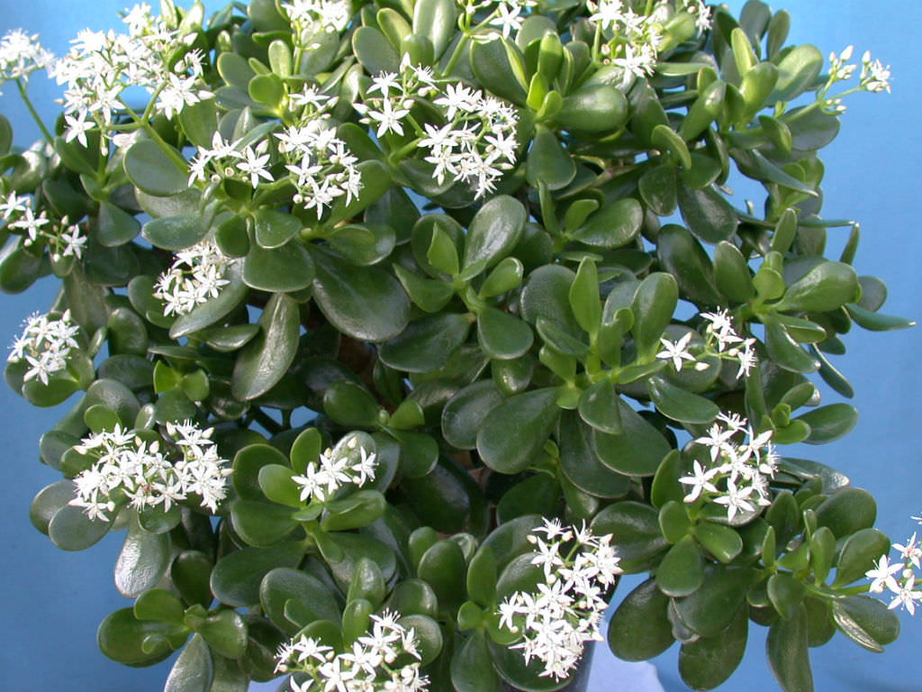 Jade Plant For Good Luck Prosperity And Friendship World Of Succulents