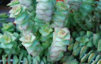 Crassula perforata - String of Buttons, Necklace Vine