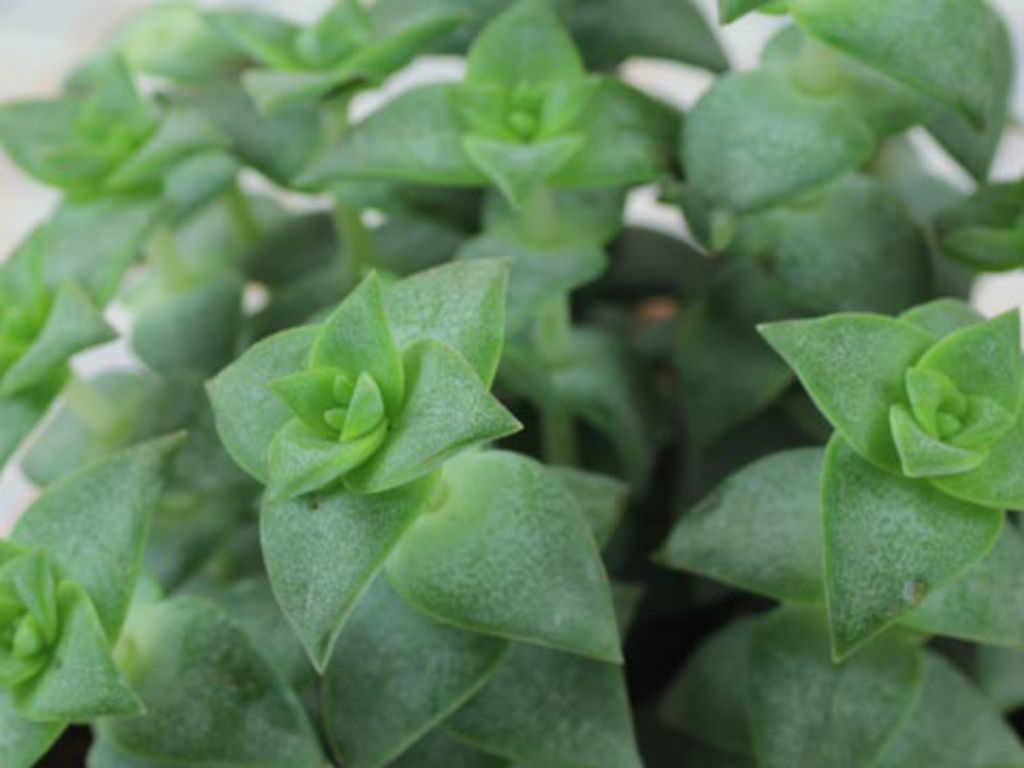 Crassula perforata (String of Buttons) | World of Succulents