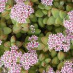 Crassula rupestris - Kebab Bush, Concertina Bush, Bead Vine, Rosary Vine