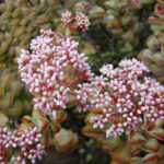 Crassula rupestris (Rosary Vine)