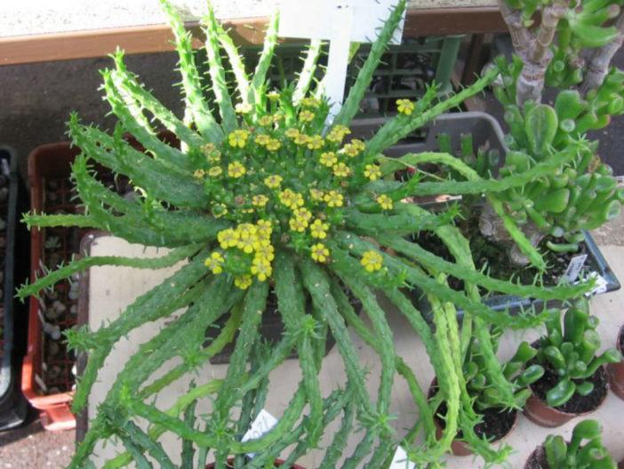 Euphorbia flanaganii - Medusa's Head