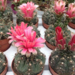 Gymnocalycium baldianum (Dwarf Chin Cactus)