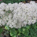 Hylotelephium erythrostictum (Garden Stonecrop) aka Sedum erythrostictum