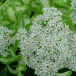 Hylotelephium erythrostictum (Sedum erythrostictum) 'Mediovariegatum' - Showy Stonecrop