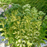 Hylotelephium erythrostictum 'Mediovariegatum' (Showy Stonecrop) aka Sedum erythrostictum 'Mediovariegatum'