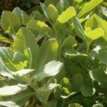 Hylotelephium erythrostictum (Sedum erythrostictum) - Garden Stonecrop