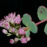 Hylotelephium sieboldii (October Daphne)