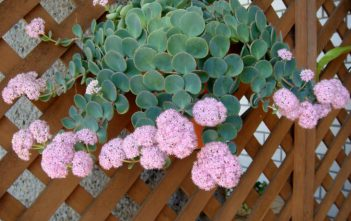 Hylotelephium sieboldii (Sedum sieboldii) – October Daphne
