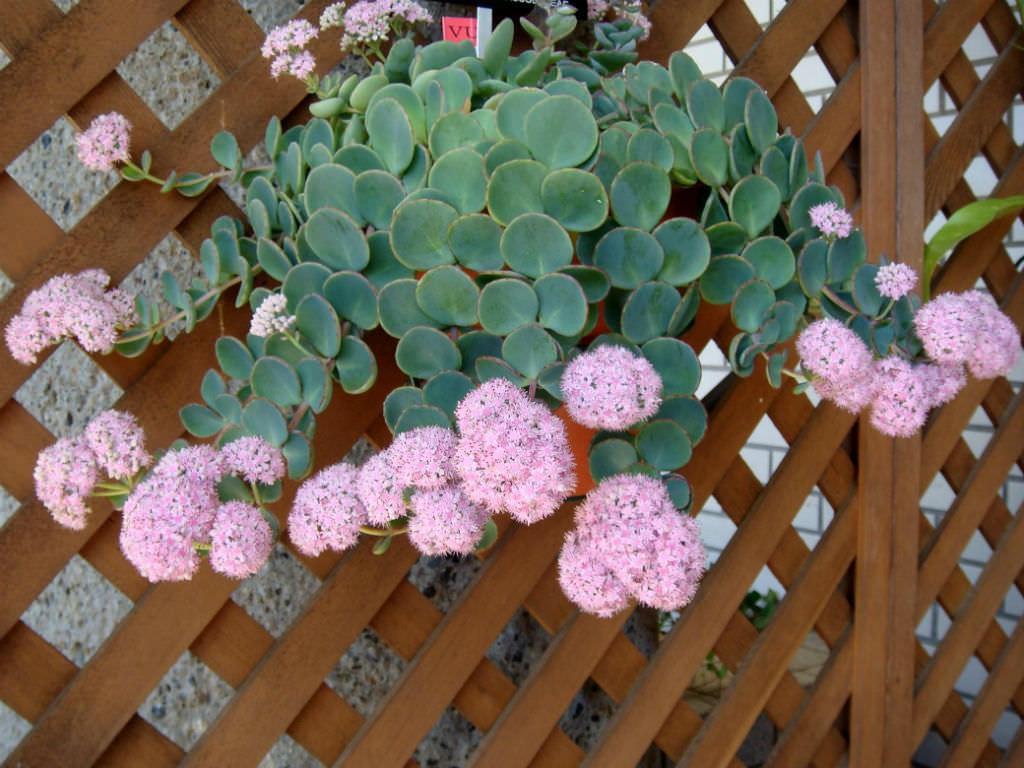 Hylotelephium sieboldii (October Daphne) aka Sedum sieboldii