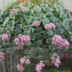 Hylotelephium sieboldii (Sedum sieboldii) - October Daphne