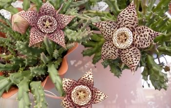 Orbea variegata (Starfish Plant), also known as Stapelia variegata