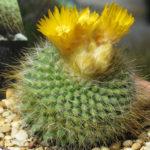 Parodia chrysacanthion (Golden Powder Puff)