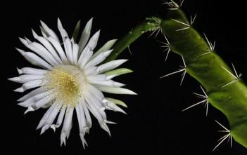 Acanthocereus tetragonus - Barbed-Wire Cactus, Sword Pear