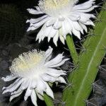 Acanthocereus tetragonus (Triangle Cactus)