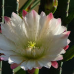 Cereus hildmannianus - Hedge Cactus, Queen of the Night