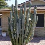 Cereus hildmannianus (Hedge Cactus)