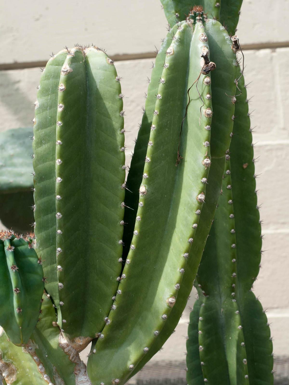 "Cereus Peruvianus Night Blooming Small Roots 20""Tall 13 ... |Night Blooming Cereus Cactus Care"
