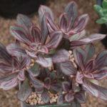 Echeveria nodulosa (Painted Echeveria)