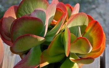 Kalanchoe luciae (Paddle Plant)