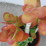 Kalanchoe luciae - Paddle Plant, Red Pancakes