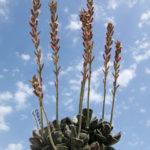 Adromischus cooperi - Plover Eggs Plant