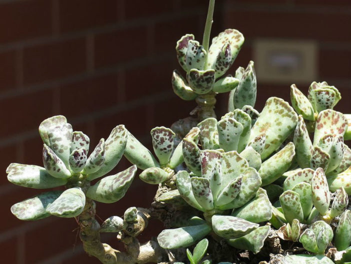 Adromischus cooperi (Plover Eggs Plant)