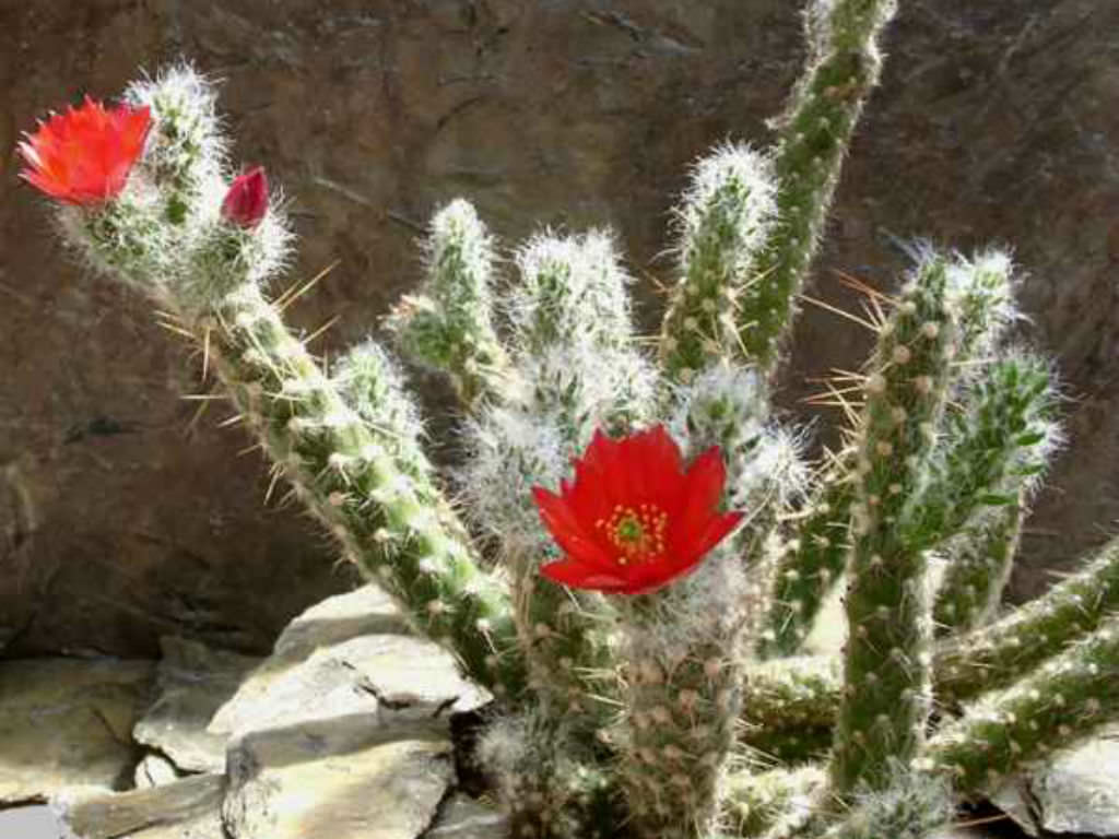 Austrocylindropuntia Vestita Old Man Opuntia World Of