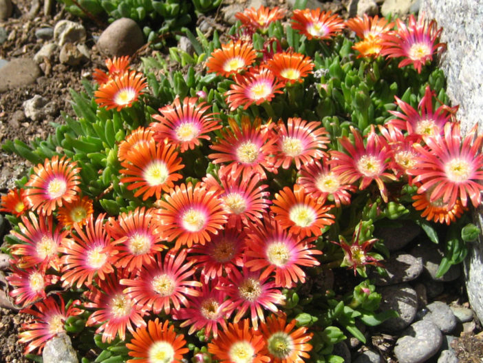 Delosperma Dyeri Ice Plant World Of Succulents