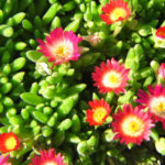 Delosperma dyeri - Ice Plant