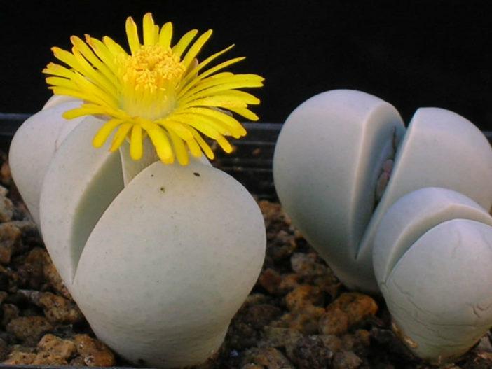 Dinteranthus microspermus - Stone Plant Living Stone