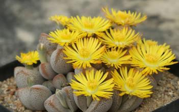 Dinteranthus microspermus subsp. puberulus - Stone Plant, Living Stone