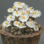 Dinteranthus microspermus subsp. puberulus - Stone Plant