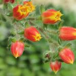 Echeveria setosa - Mexican Firecracker, Firecracker Plant