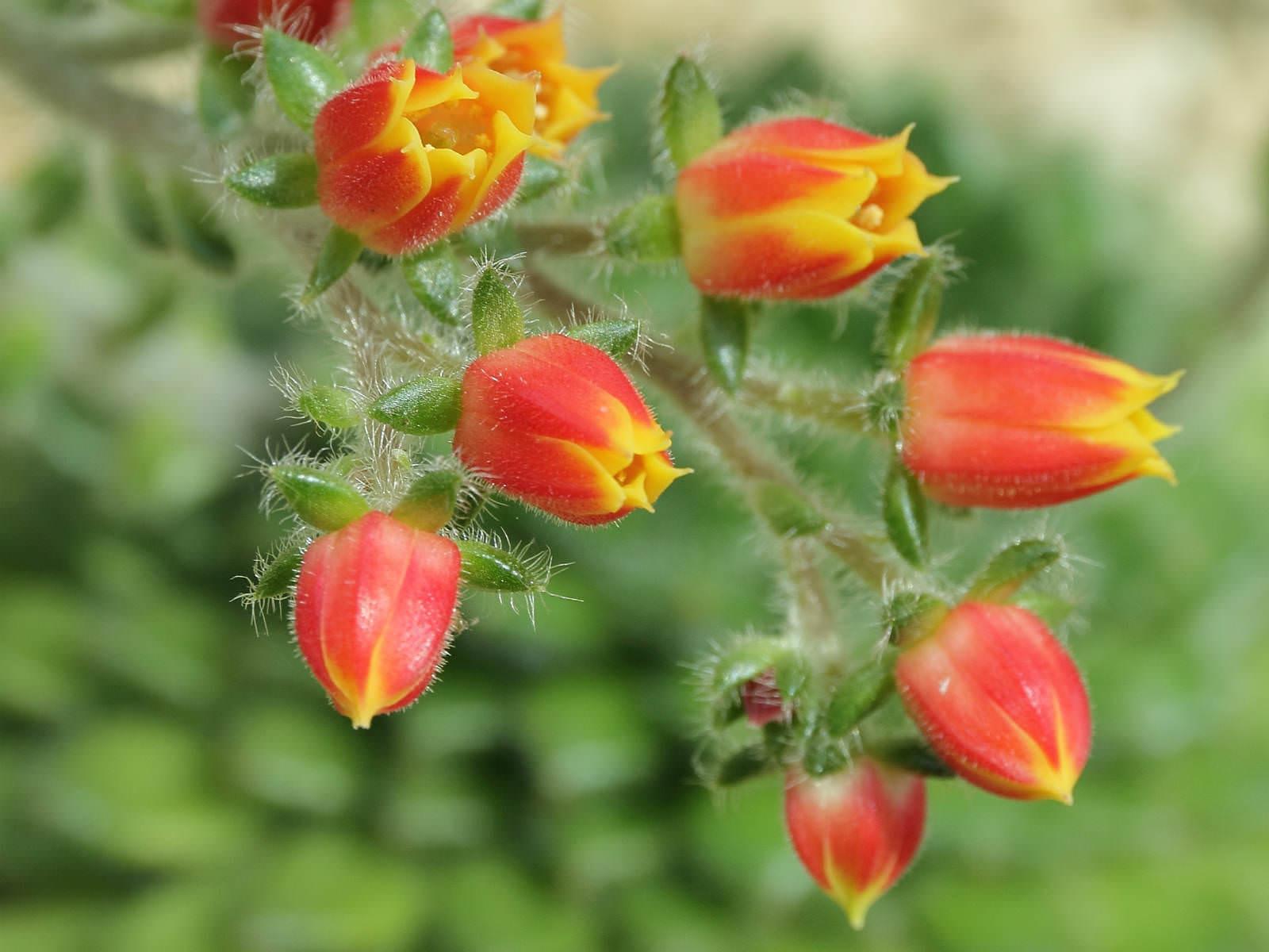 Echeveria setosa mexican firecracker world of succulents - Piante grasse con fiori ...