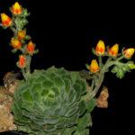 Echeveria setosa (Mexican Firecracker)