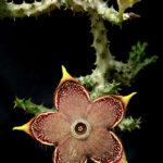 Edithcolea grandis - Persian Carpet Flower