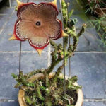 Edithcolea grandis (Persian Carpet Flower)