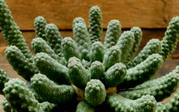 "Euphorbia esculenta - The True ""Vingerpol"""