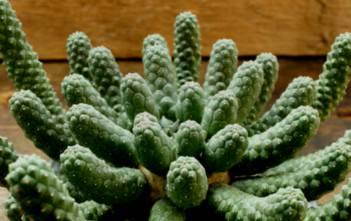 "Euphorbia esculenta - The True ""Vingerpol"""