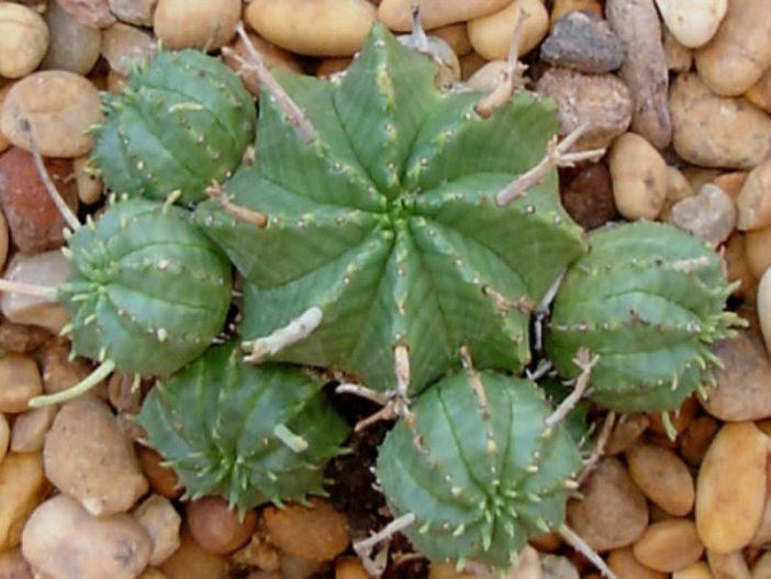 Euphorbia meloformis - Melon Spurge