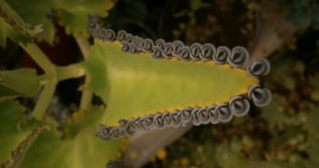 Kalanchoe daigremontiana - Mother of Thousands, Alligator Plant