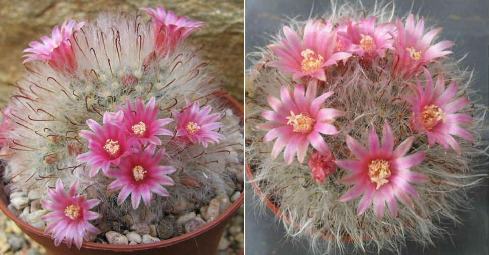 Mammillaria Bocasana Powder Puff Cactus World Of